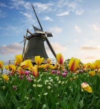 one dutch windmill over  tulips