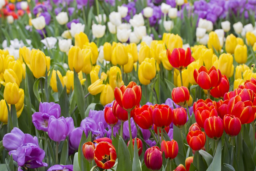 Tulip. Beautiful Bouquet Of Tulips. Colorful Tulips. Tulips In S