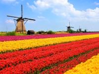 Tulips fields, windmills