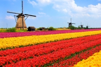Tulips fields, windmills