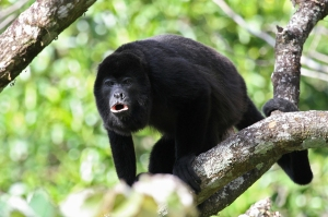 Howler Monkey on a Panama Canal Cruise