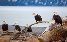 American Bald Eagles in Alaska