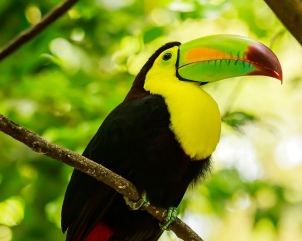 Portrait of colorful Keel-billed Toucan bird in Mexico