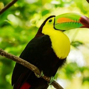 彩色龙骨嘴巨嘴鸟肖像在墨西哥