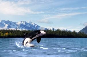F1KKGX Killer whale (Orcinus orca), breeching, Frederick Sound, Southeast Alaska.