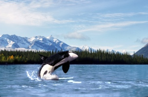F1KKGX Killer whale (Orcinus orca), breeching, Frederick Sound, Southeast Alaska.