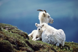 Dall sheep (Ovis dalli dalli) ewe and lamb resting, Alaska, USA