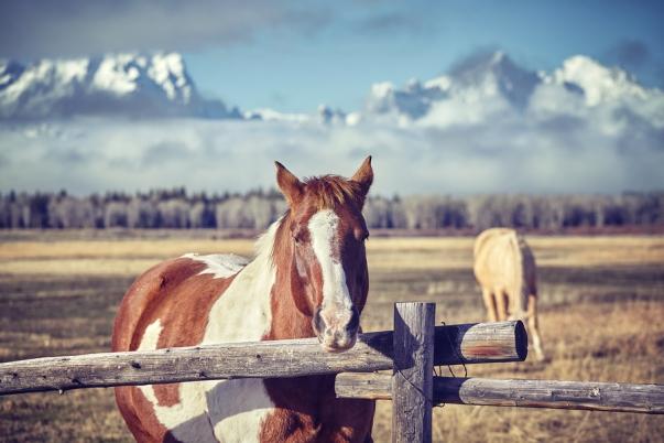 Chestnut Horse Grand Teton Mountains, WY