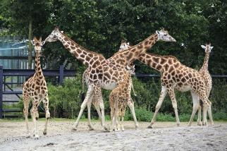 幼崽都柏林动物园长颈鹿的追风
