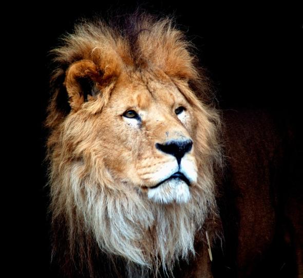 Lion at Dublin Zoo MGM Lion's grandson