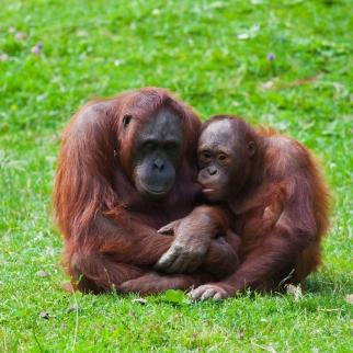 猩猩母子都柏林动物园